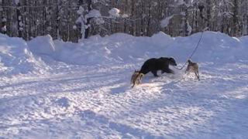 Притравка лайки на подсадного Медведя.Лайки Айна и Урман