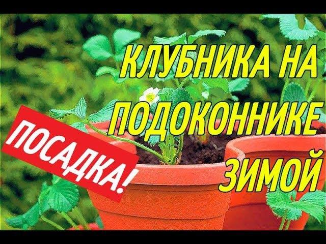 КЛУБНИКА НА ПОДОКОННИКЕ ЗИМОЙ/ПОСАДКА В ГОРШКИ.