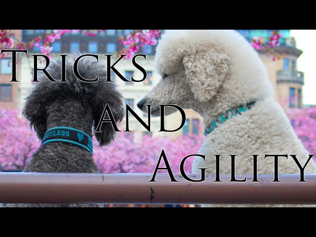 Brandy Iris - Standard poodles - Tricks and agility