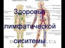 Здоровье лимфатической системы.