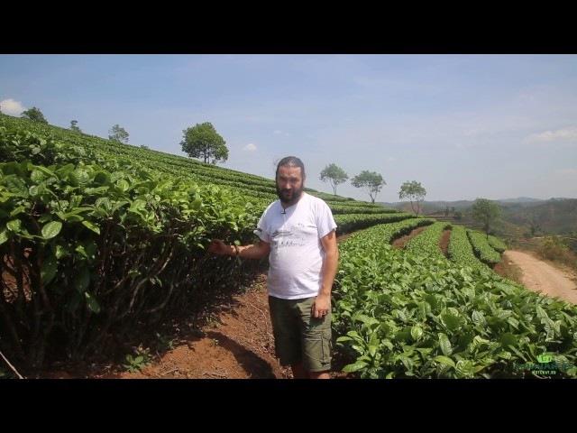 Город Пуэр. Чайные плантации.