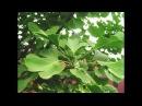 Гинкго Билоба (Ginkgo biloba) Размножение, выращивание, уход и зимовка, формировка и обрезка Гинкго