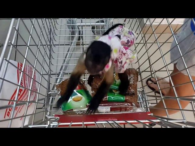2017 07 12 Обезьяна капуцин Масяня Читерство в супермаркете