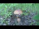 Сбор грибов 1 Лисички Белые грибы Подберёзовики Лес Жизнь в деревне