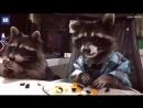 Еноты едят мармеладных мишек