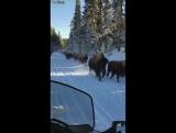 Внезапная встреча с бизонами