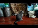 Владик обиделся. (Funny cats смешные коты и кошки Тюхтет и Боготол)
