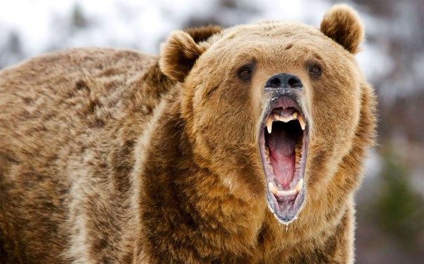 Медведь откусил руку пьяному посетителю кафе, который решил его покорм