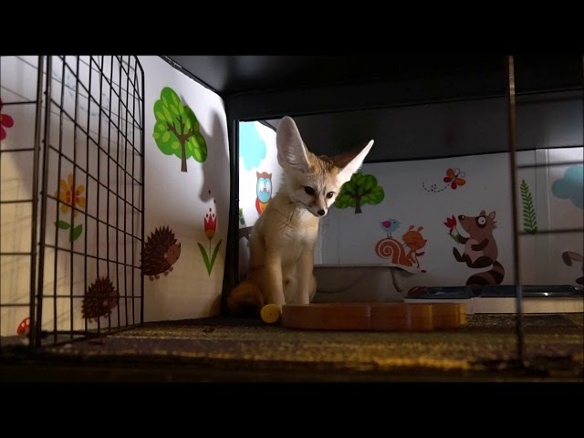 IQ Test Passed and a Challenge to Scout The Fennec Fox