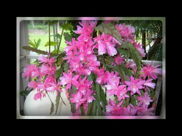 Эпифиллум секреты обильного цветения