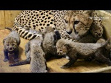 Three-week-old cheetah cubs at the Saint Louis Zoo (media b-roll)