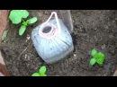 Капельный полив для выращивания огурцов.
