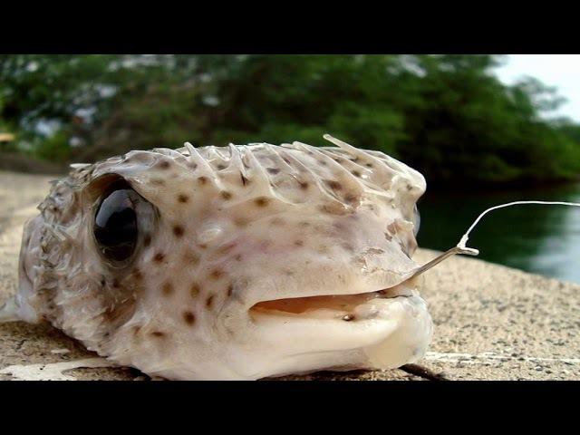 Balloonfish Pufferfish