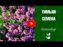 Тимьян посадка и выращивание ✅ Лечебные свойства ✅ сад и огород с хитсад ТВ