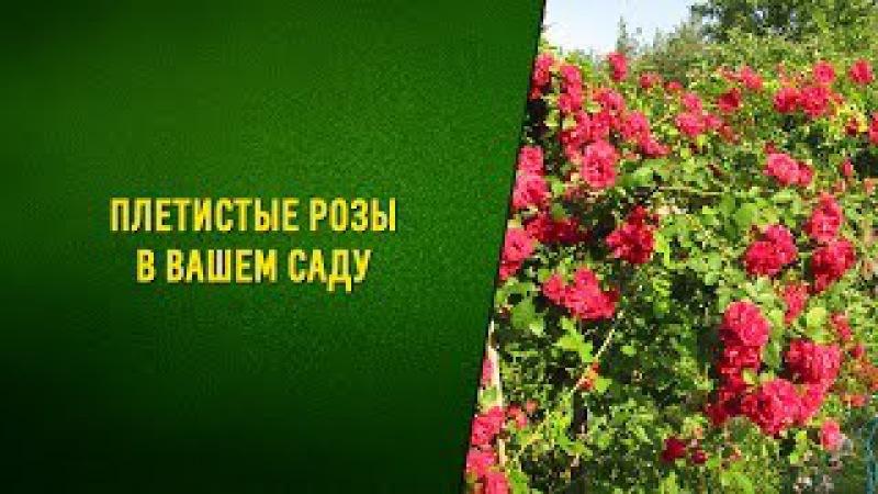 Плетистая роза в открытом грунте. Выращивание и уход. Видео
