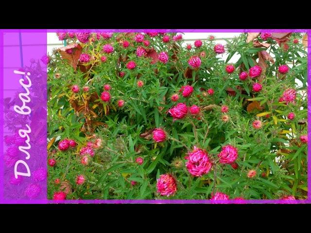 Серия №2 В том же МЕСТЕ в ЧАС иной Осенний сад Хризантемы в саду и астры мног