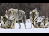 Never Cry Wolf II - Protecting Wolves and Endangered Mountain Caribou
