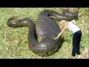 Самая большая змея в мире. Существует до сих пор самая большая змея.The biggest snake in the world.