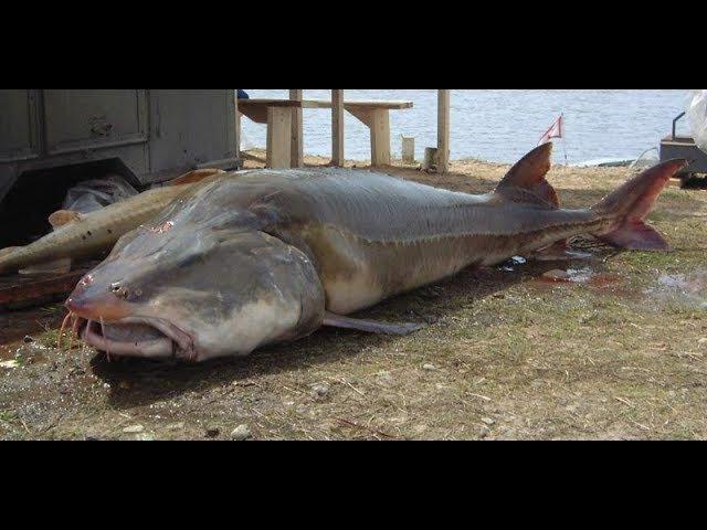 Cамая большая в мире пойманная Белуга 2220 кг