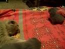 Наша говорящая, Шотландская вислоухая кошка с котятами