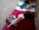 Котятам нравятся сливки