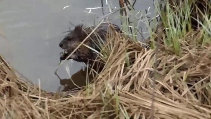 Как выглядит водяная крыса ОНДАТРА.Muskrat 2015