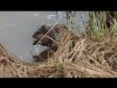 Как выглядит водяная крыса ОНДАТРА Muskrat 2015