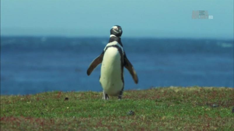 Неизведанные острова / Wildest Islands S02E05 Falkland Islands - Penguin Paradise