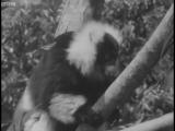 The Magnificent Ruffed Lemur - Zoo Quest to Madagascar - BBC