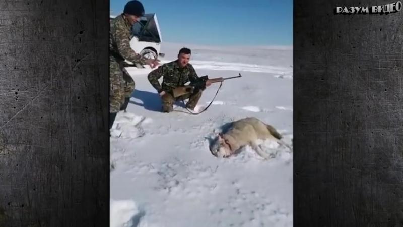 Волк притворился мертвым чтобы отомстить охотнику