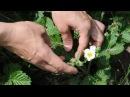 Защита земляники и виктории от землянично-малиннового долгоносика