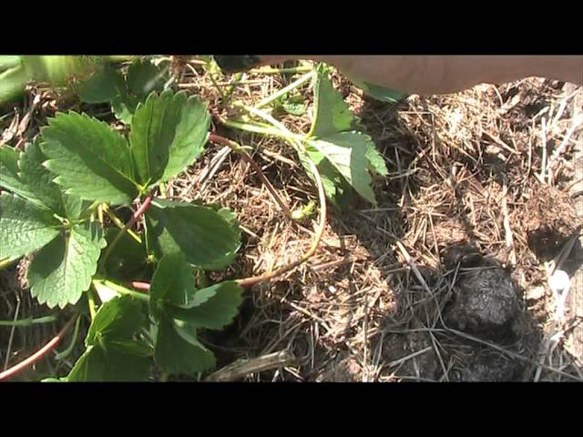 укоренение уса земляники садовой в питательный грунт