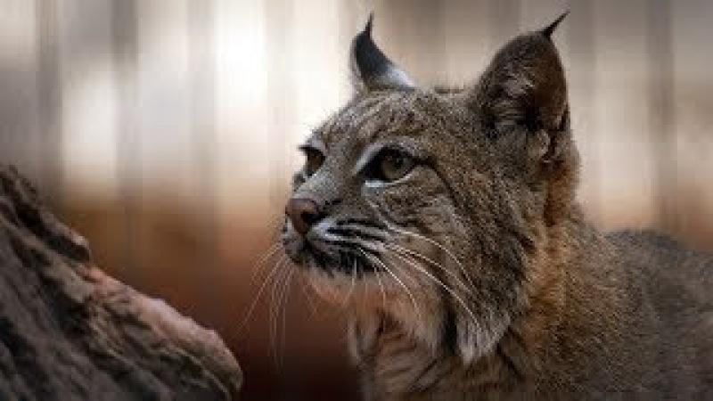 DOCUMENTAL 😜👍 EL Lince Ibérico,DOCUMENTAL DE ANIMALES,LINCES,ANIMALES SALVAJES,BEST DOCUMENTARIES