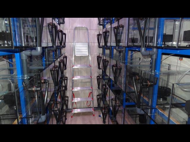Hodowla pielęgnic afrykańskich Fish Magic FISHROOM FISH ROOM CICHLIDS PYSZCZAKI PYSZCZAKÓW MALAWI