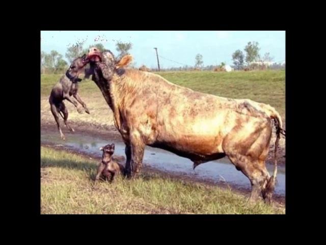 Pitbull cenesiyle yarim ton basan korkunc köpek