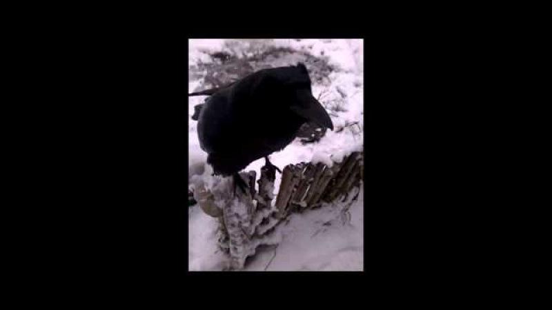 Вася ворон , кушать кушать ))