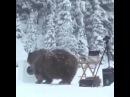 Медвежьи постирушки