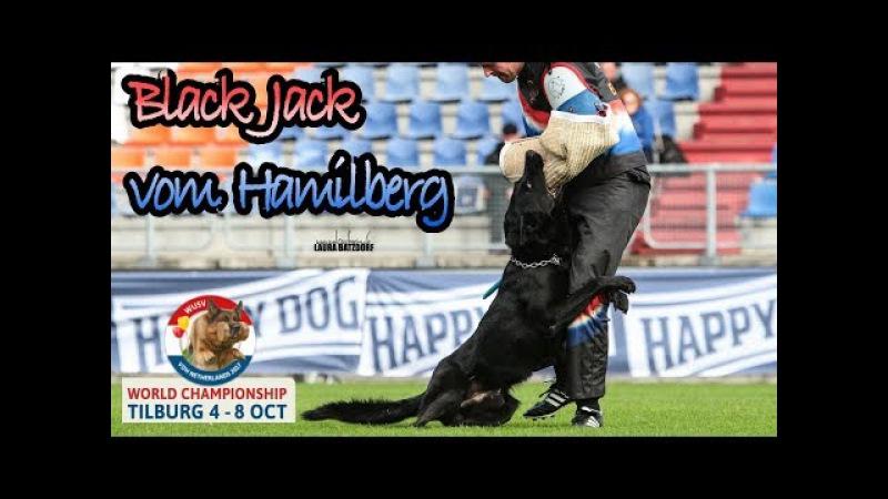 WUSV 2017 Ross Heron Black Jack vom Hamilberg Protection STOPS THE HELPER !!