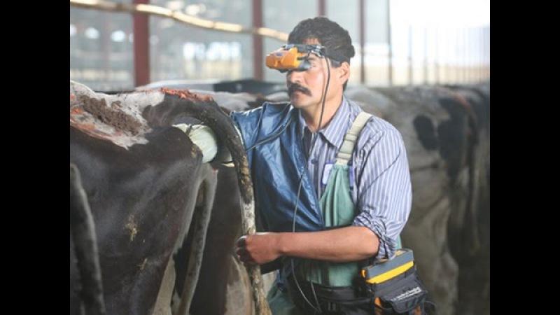 Диагностика беременности у коров с помощью ультразвукового сканера с очками Diagnóstico de gestación en vacas charolesas con ecógrafo de gafas