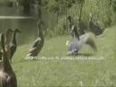 Гуси танцуют гандаган