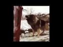 Охранная собака. Кавказская овчарка