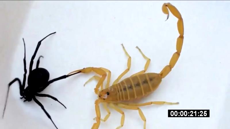 Скорпион vs черная вдова 2 _ Scorpion vs Black Widow 2