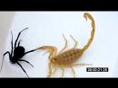 Скорпион vs черная вдова 2 Scorpion vs Black Widow 2