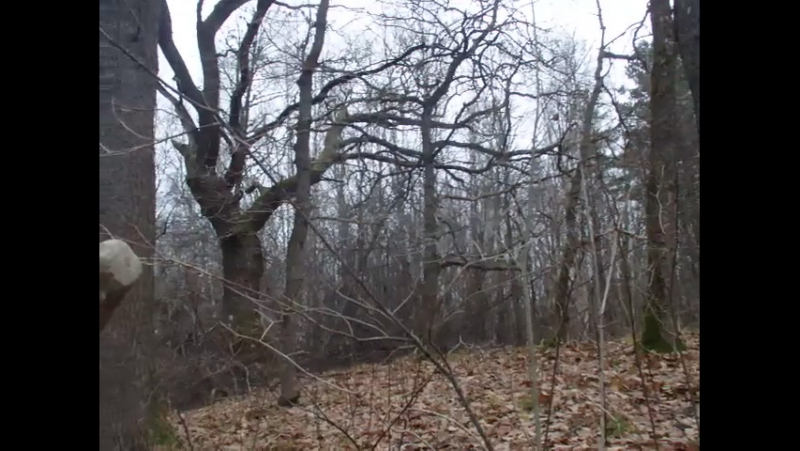 Ручей Глух(впадает в Веронду неподалеку от быков разрушенного в войну ж/д моста), бобровая плотина,ноябрь 2017(PB120830)