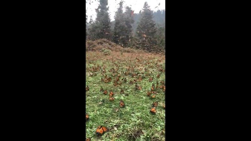 Michoacán's Monarch Butterfly sanctuary