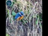 BBC Earth - The way kingfishers keep their head still...