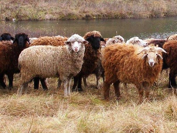количество романовских овец в россии хотя уже первые