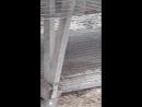 Хорьки горностаи
