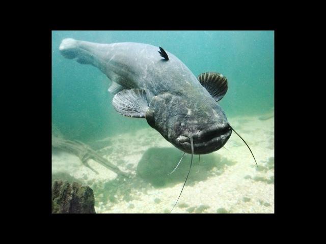 Рыбалка на трофейных сомов мутантов. Гиганстский сом Якуб Вагнер Франция часть 2. Giant cat fish.