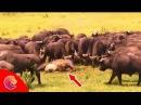 Trâu mẹ kéo hơn một 100 con Trâu Đực giải cứu con khỏi đàn Sư Tử Sư Tử phải chạy lên cây trốn